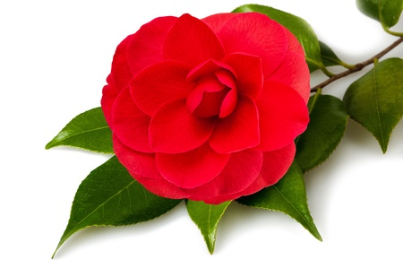 camellia: Camellia flower with leaves on white background