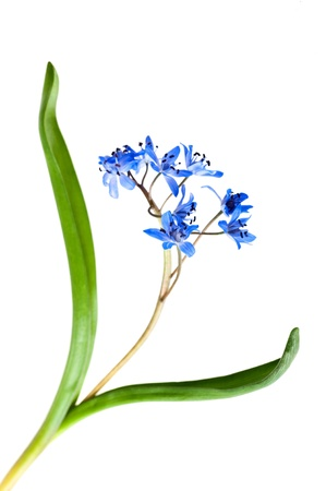 bluebells: alpine squill isolated on white