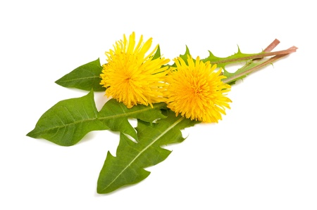 dandelion with flower isolated on white photo