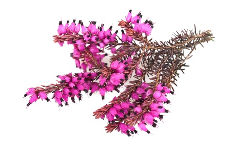 erica: Purple heather branch isolated on white background