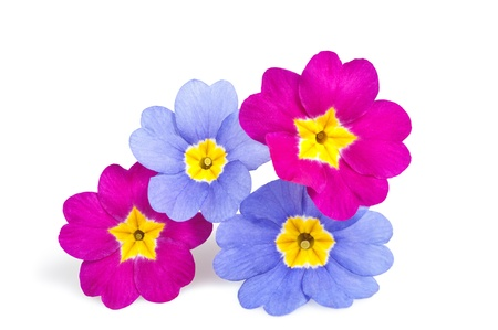 polyanthus: Four primroses isolated on white