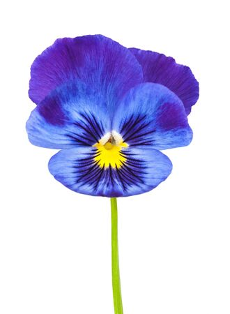 Violet flower isolated on white Stock Photo - 19383950