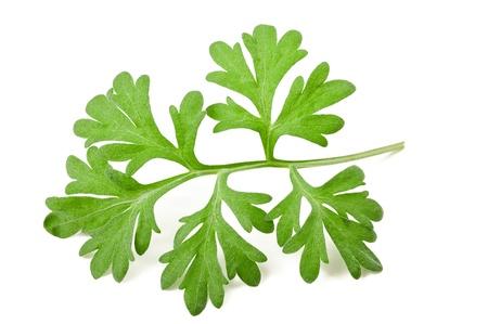 sagebrush: sagebrush sprig isolated on white Stock Photo