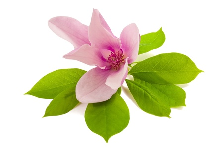 pink magnolia isolated on white background Stock Photo - 19579834