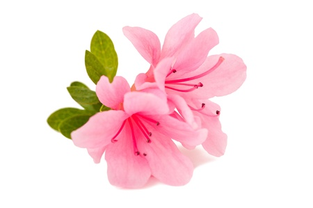azalea flower on the white isolate background