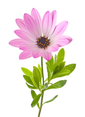 Daisy flower isolated on white