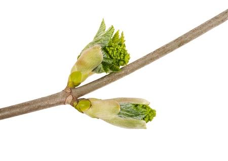 acer platanoides: bud maple isolated on white Stock Photo