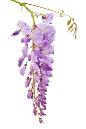 lila: wisteria flowers isolated on white