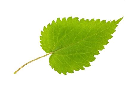 nettle leaf Stock Photo - 19873705