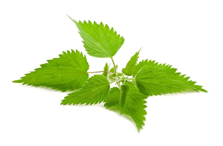 Stinging nettle isolated on white Stock Photo - 19873630