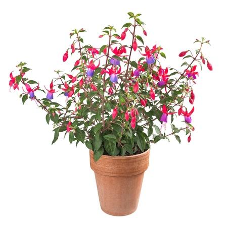 flores fucsia: planta fucsia en el florero aislado en blanco