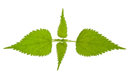 Stinging nettle isolated on white photo
