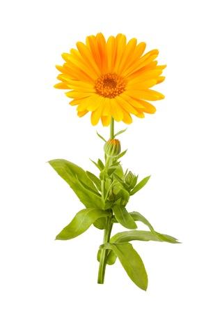 Calendula flower isolated on white Stock Photo