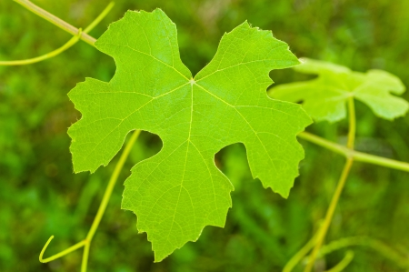 greenness: vine leaf on green background Stock Photo