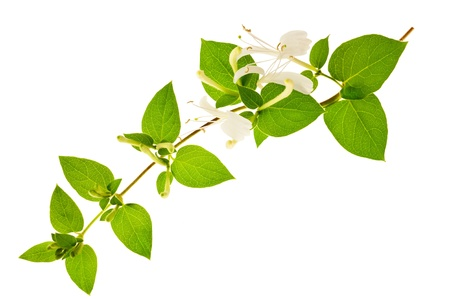 honeysuckle Sprig  with white flowers and green leaves isolated on white background  photo
