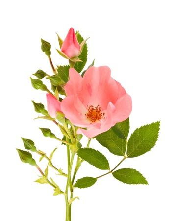 Dog rose isolated on white Stock Photo