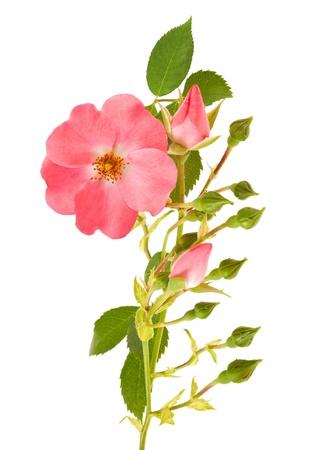 Dog rose isolato su bianco