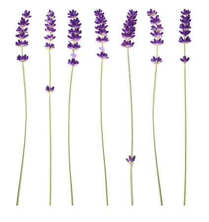 흰색 배경에 라벤더 꽃