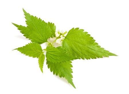 Nettle with flowers isolated on white photo