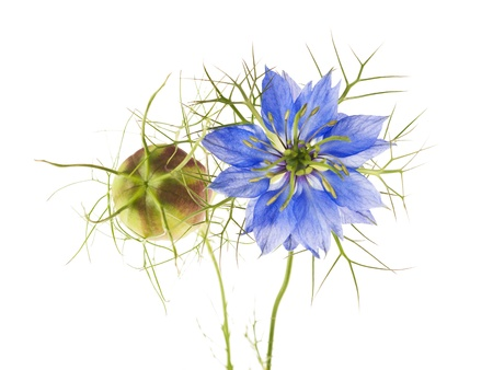 caraway: nigella flowers isolated on white