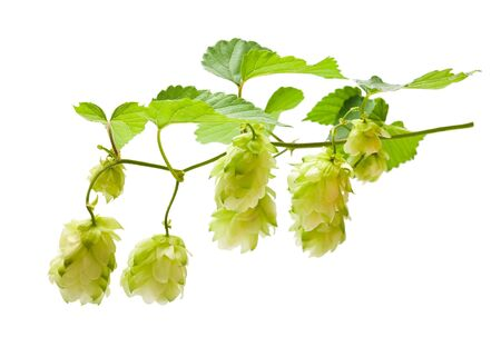 hop hops: hops with leaves isolated on white