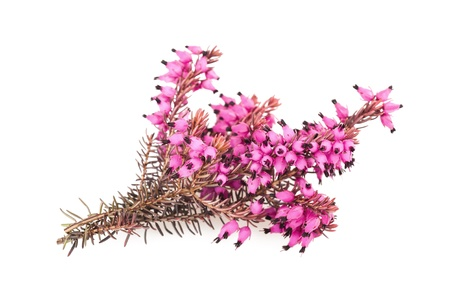 Purple heather branch isolated on white background photo