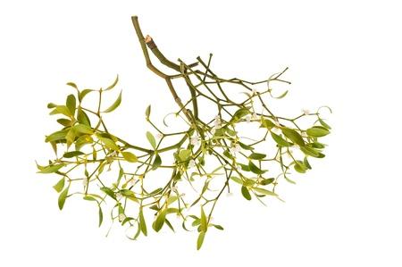 muerdago: rama de muérdago con las bayas aisladas en blanco