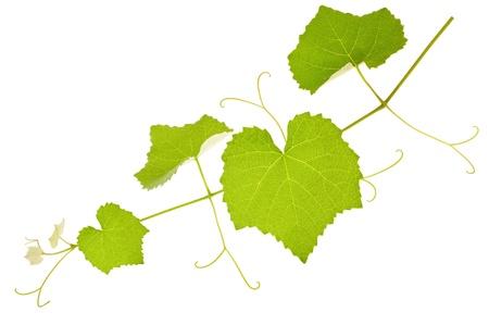 흰색에 고립 된 잎 포도 나무 가지