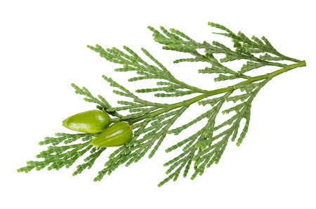 thuja: cypress twig isolated on white Stock Photo