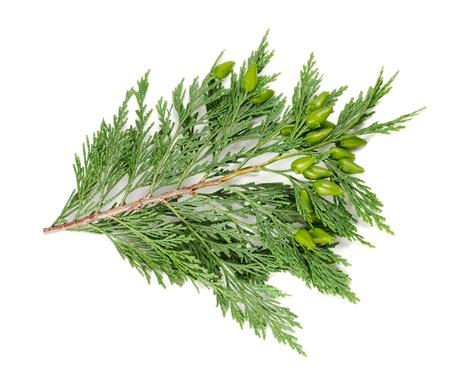 cedro: ciprés ramita aislados en blanco