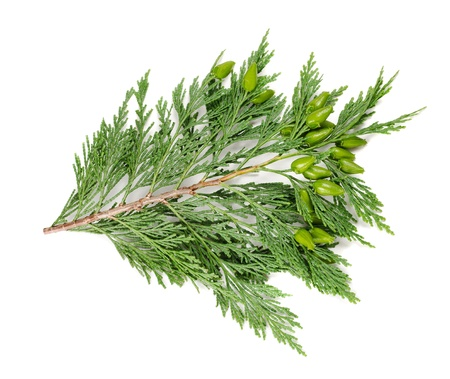 cedar tree: cypress twig isolated on white Stock Photo