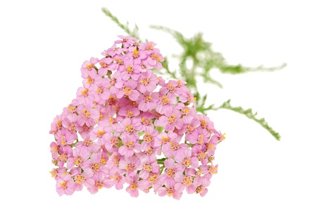 officinal: yarrow isolated on white background Stock Photo