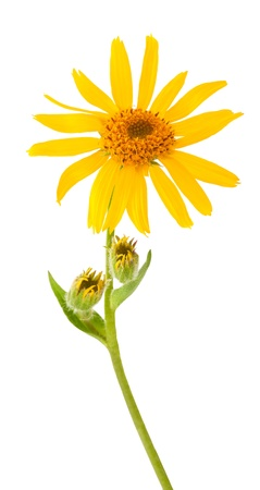 Arnica Montana flower on white background  스톡 콘텐츠