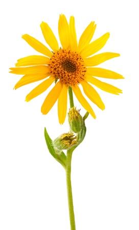 Arnica Montana flower on white background
