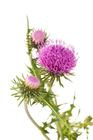 milk thistle: thistles flower isolated on white