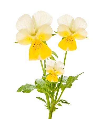 Viooltje bloemen op wit wordt geïsoleerd Stockfoto