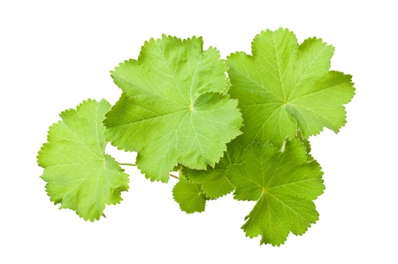 mollis: Ladys Mantle leaves  isolated on white