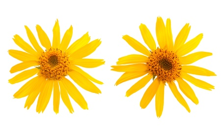 Arnica Montana flower on white background