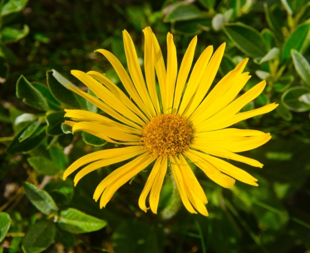 Arnica montana yellow mountain flower Stock Photo