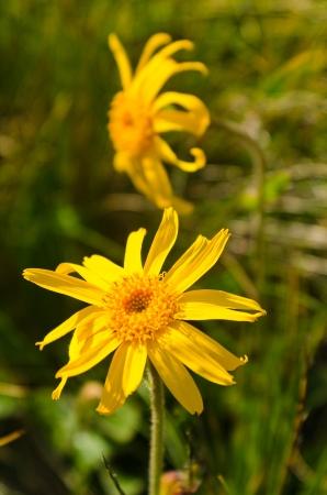 Arnica montana yellow mountain flower Stock Photo