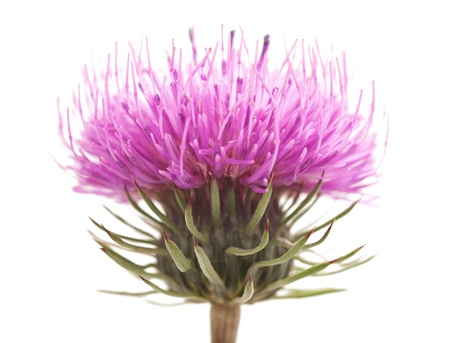 thistle: thistles flower isolated on white