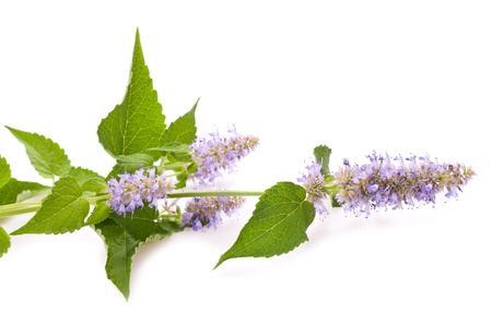 spearmint: Horse Mint flowers isolated on white