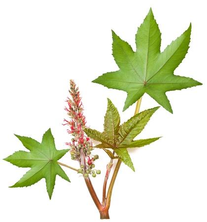 hojas de ricino con flores y semillas