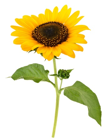 sunflower   Stock Photo - 21829972