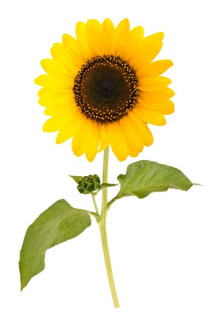 sunflower isolated on white background Stock Photo - 21829985