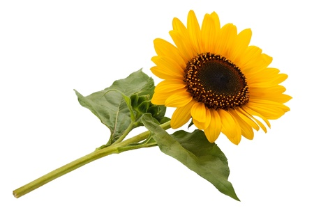 sunflower isolated on white background Stock Photo - 21829988