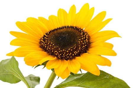 sunflower isolated on white background Stock Photo - 21829989