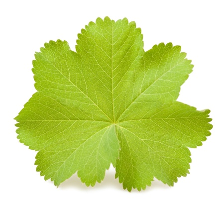 alchemilla mollis: Ladys Mantle leaf isolated on white Stock Photo