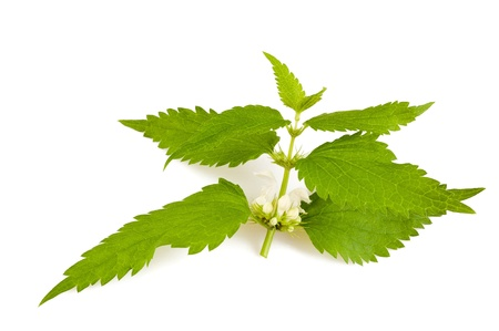 Nettles with flowers isolated on white photo