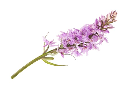 spotted flower: Common Spotted Orchid - Dactylorhiza fushsii Stock Photo